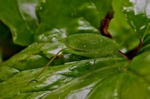 Anglewing Katydid