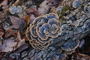 Turkey Tail 1-7-13_15
