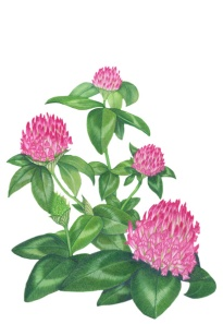 RedClover Illus_web