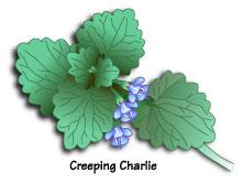 CreepingCharlie
