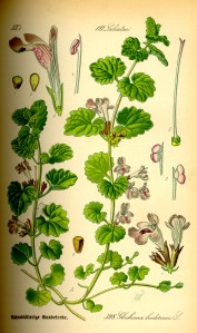 Illustration_Glechoma_hederacea0
