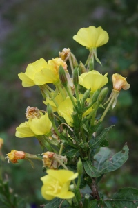 Evening Primrose Photos by Thea