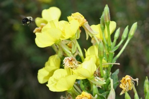 Pollinator bee approaching