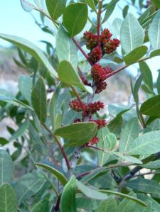 Pistacia lentiscus in flower