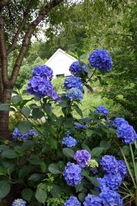 hydrangea cottage_2876