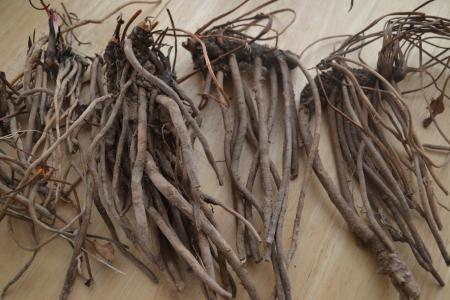 yerba-mansa-roots-rhonda
