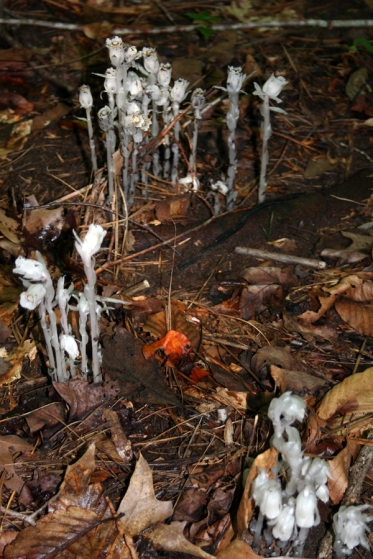 Indian Pipe_1728